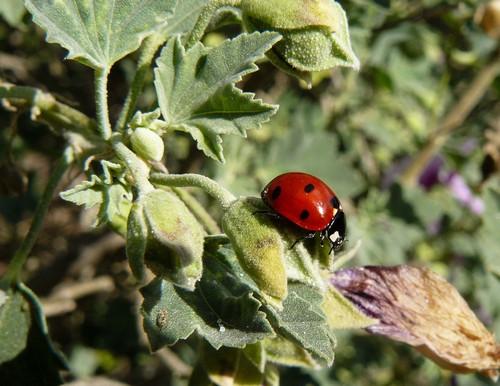 interesting_facts_about_ladybug2