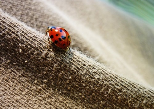 interesting_facts_about_ladybug3