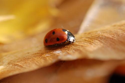 interesting_facts_about_ladybug4