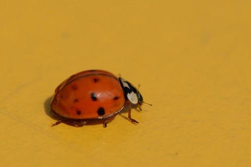 interesting_facts_about_ladybug6