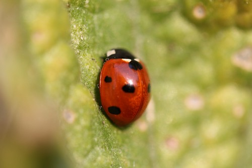 interesting_facts_about_ladybug7