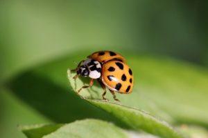 interesting_facts_about_ladybug8