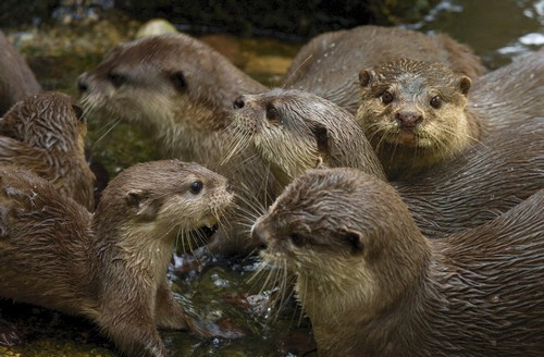 interesting_facts_about_otter1