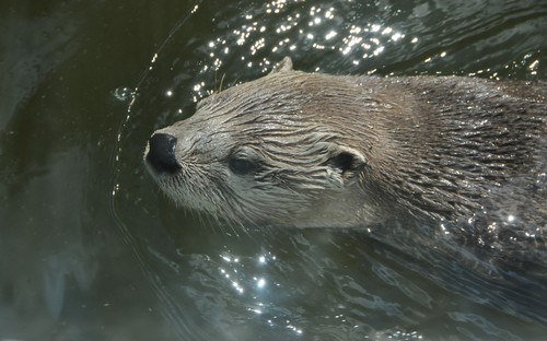 interesting_facts_about_otter2