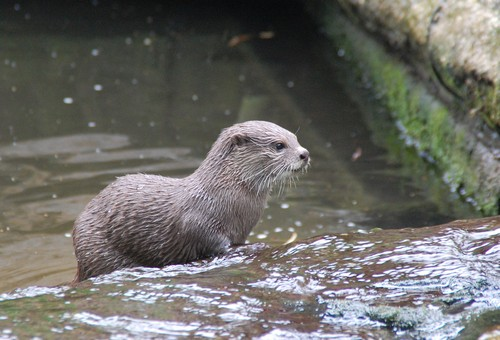 interesting_facts_about_otter5