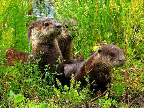 interesting_facts_about_otter6