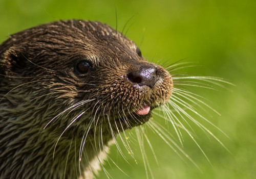 interesting_facts_about_otter7