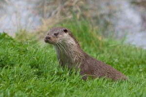 interesting_facts_about_otter8