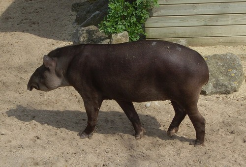 interesting_facts_about_tapir1