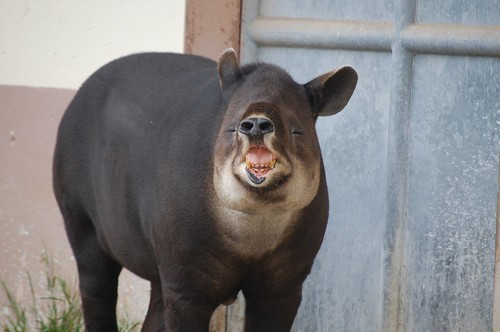 interesting_facts_about_tapir2