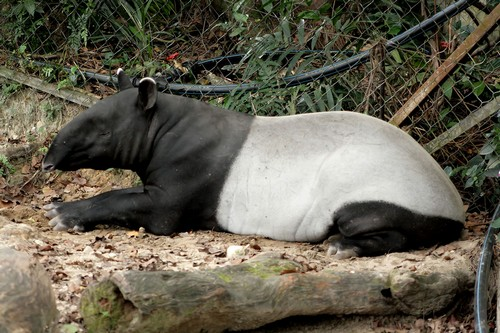 interesting_facts_about_tapir3