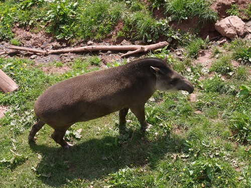 interesting_facts_about_tapir4