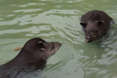 interesting_facts_about_tapir5