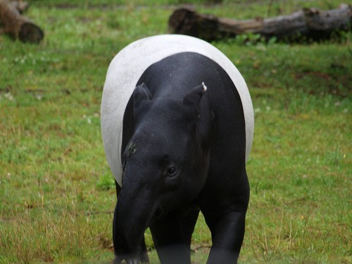Tapir - diet, habitat, species and size with pictures