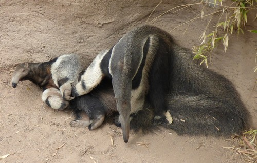 What do Anteaters eat