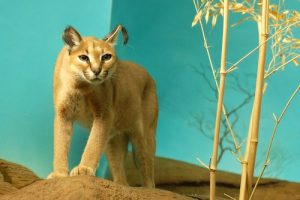 interesting_facts_about_caracal8