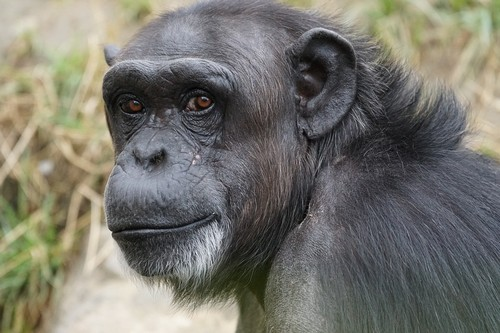 interesting_facts_about_chimpanzee6