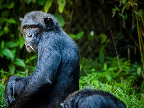 interesting_facts_about_chimpanzee8-ap