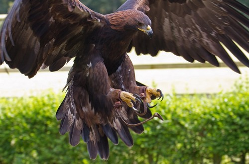 The Speed of the Golden Eagle