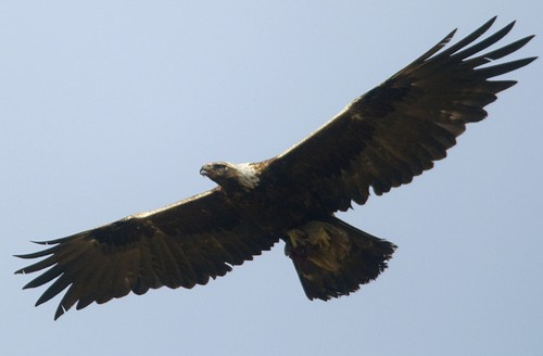 Golden eagle in back country.