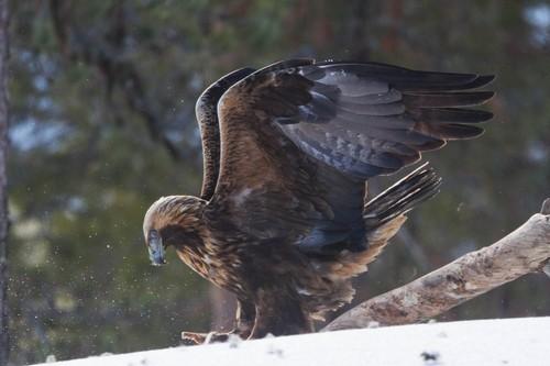 Golden Eagle Size
