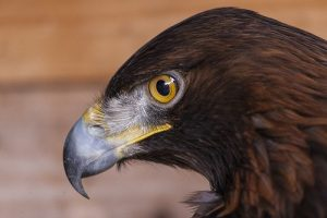 interesting_facts_about_golden_eagle8