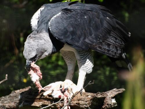 Harpy Eagle Natural Habitat