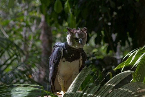 interesting_facts_about_harpy_eagle2