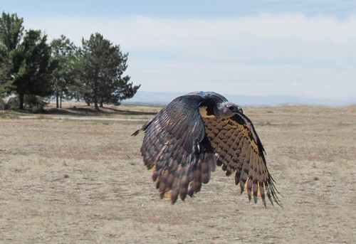 interesting_facts_about_harpy_eagle4