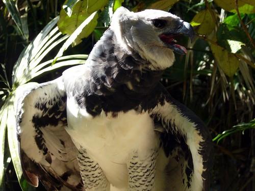Harpy Eagle Breeding