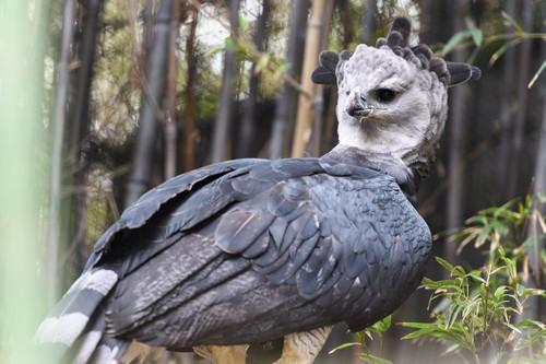 Harpy Eagle Fееdіng
