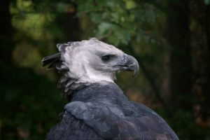 interesting_facts_about_harpy_eagle8