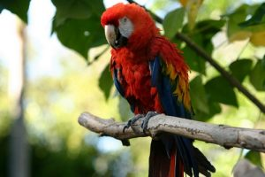 interesting_facts_about_macaw8