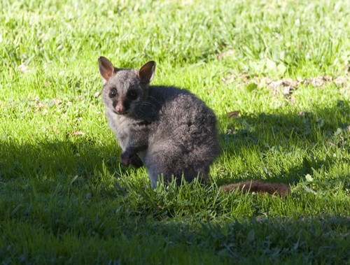 interesting_facts_about_marsupials4