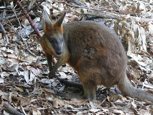 interesting_facts_about_marsupials5
