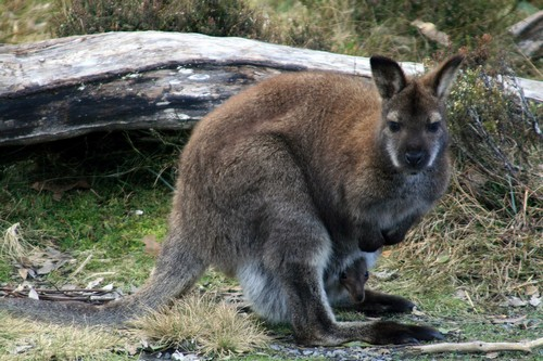 interesting_facts_about_marsupials8-ap