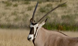 interesting_facts_about_oryx8