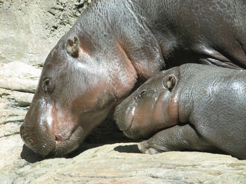 interesting_facts_about_pygmy_hippo1