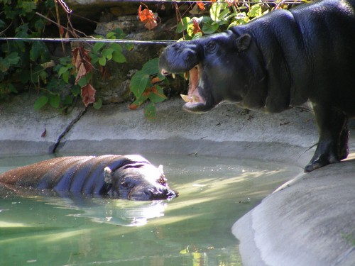 interesting_facts_about_pygmy_hippo2