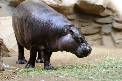 interesting_facts_about_pygmy_hippo3
