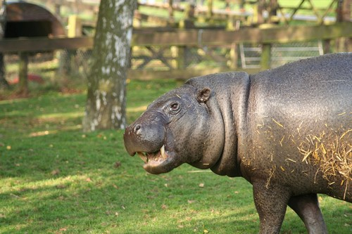 interesting_facts_about_pygmy_hippo7