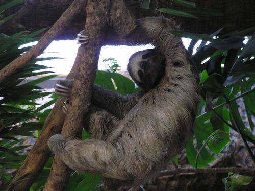 interesting_facts_about_sloth1