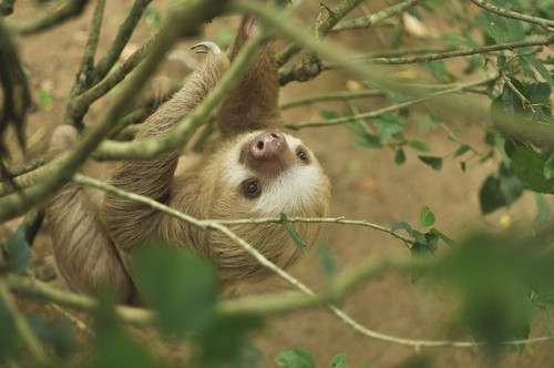interesting_facts_about_sloth3