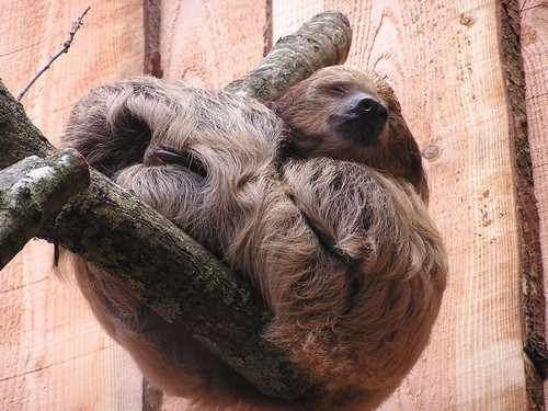 interesting_facts_about_sloth4