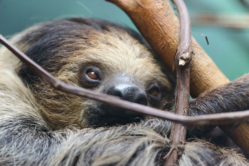 interesting_facts_about_sloth6