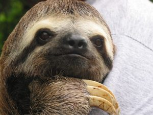 interesting_facts_about_sloth8
