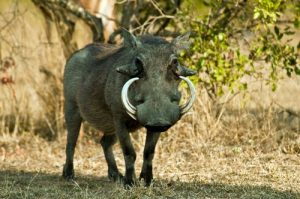 interesting_facts_about_warthogs8