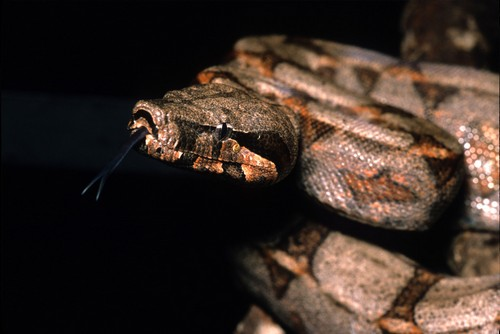 interesting_facts_about_boaconstrictor1