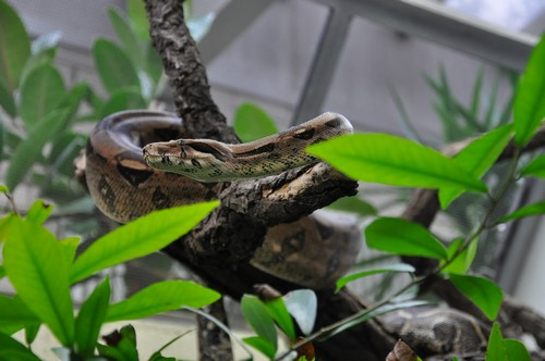 interesting_facts_about_boaconstrictor2