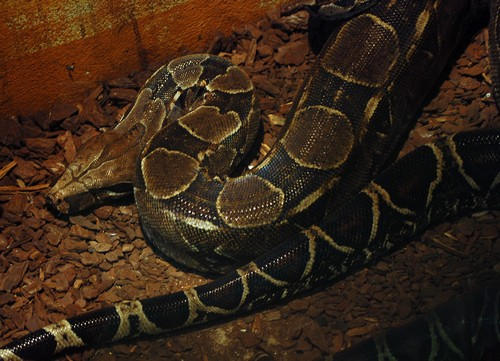 interesting_facts_about_boaconstrictor3